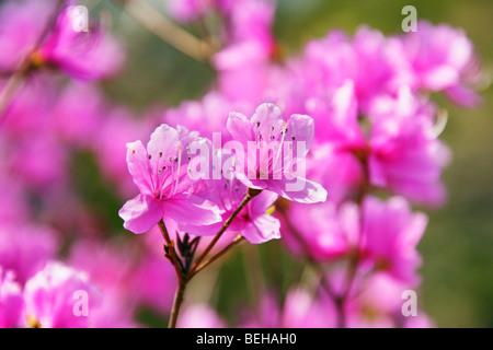 Bright pink azalea flowers - Stock Photo