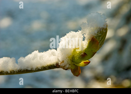 Snow on a new tree bud in the garden - Stock Photo