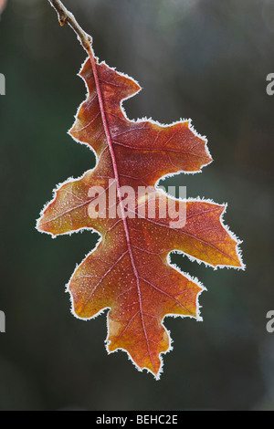 Eastern Black oak (Quercus velutina), leaf rimmed in frost, Lillington, North Carolina, USA - Stock Photo