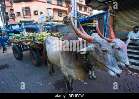 Bull cart hauling sugarcane to Crawford Market in Mumbai India - Stock Photo