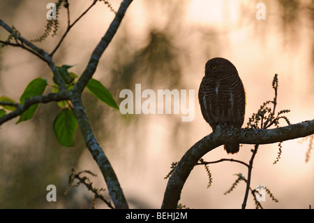 Asian Barred Owlet - Stock Photo