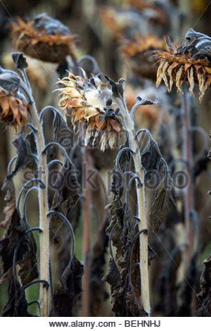 ripe sunflowers during fall season - Stock Photo