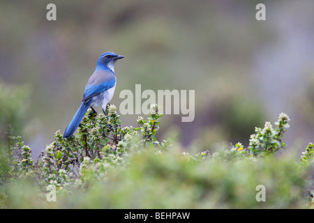 Western Scrub-Jay (Aphelocoma californica), Point Reyes National Seashore, California, USA - Stock Photo