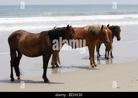 Carova Beach NC: Wild Horses play on the beach in the most northern section of the Outer Banks in North Carolina - Stock Photo
