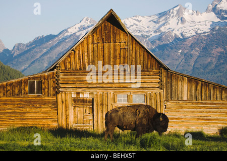 American Bison, Buffalo (Bison bison) adult in front of old wooden Barn and grand teton range, Antelope Flat, Grand - Stock Photo