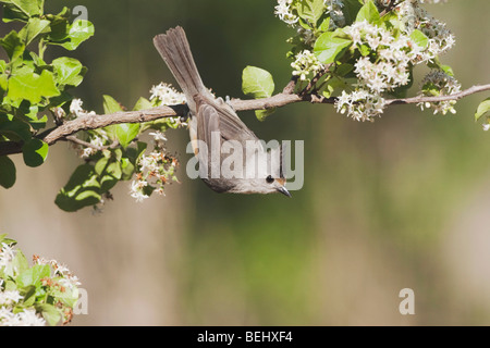 Black-crested Titmouse (Baeolophus atricristatus), adult on branch, Sinton, Corpus Christi, Coastal Bend, Texas, - Stock Photo