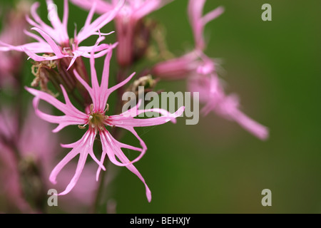 Ragged robin (Silene flos-cuculi / Lychnis flos-cuculi) in flower - Stock Photo