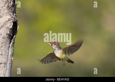 Brown-crested Flycatcher (Myiarchus tyrannulus), adult in flight with prey, Sinton, Corpus Christi, Coastal Bend, - Stock Photo