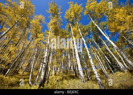 Aspen turning golden yellow, Colorado - Stock Photo