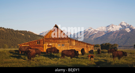 American Bison, Buffalo (Bison bison) herd in front of old wooden Barn and grand teton range, Antelope Flats, Grand - Stock Photo