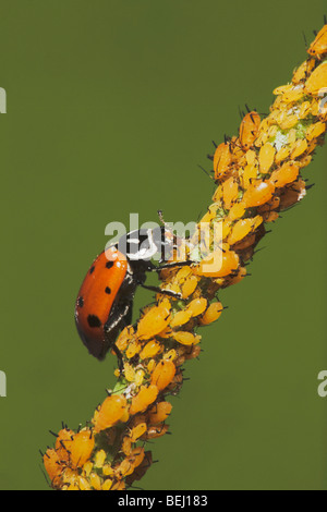 Seven-spotted Ladybug (Coccinella septempunctata), adult eating Aphids (Aphidoidea), Sinton, Corpus Christi, Texas - Stock Photo