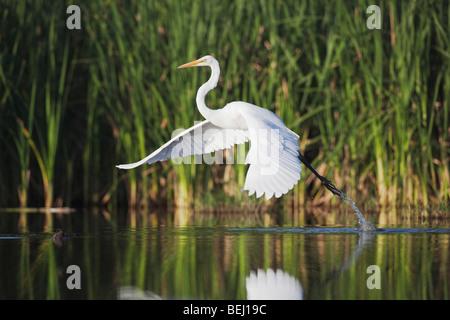 Great Egret (Ardea alba), adult taking off, Sinton, Corpus Christi, Coastal Bend, Texas, USA - Stock Photo