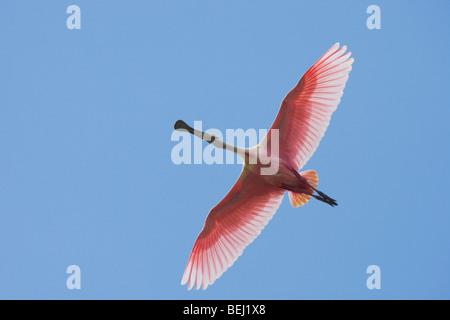 Roseate Spoonbill (Ajaia ajaja), adult in flight, Sinton, Corpus Christi, Coastal Bend, Texas, USA - Stock Photo