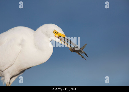 Snowy Egret (Egretta thula), adult with fish prey, Sinton, Corpus Christi, Coastal Bend, Texas, USA - Stock Photo