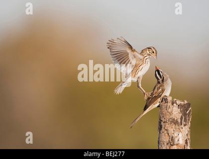White-crowned Sparrow (Zonotrichia leucophrys), adult fighting with Savannah Sparrow, Corpus Christi, Coastal Bend, - Stock Photo