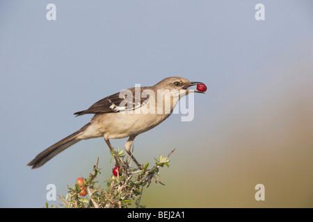 Northern Mockingbird (Mimus polyglottos),adult eating berries,Starr County, Rio Grande Valley, Texas, USA - Stock Photo