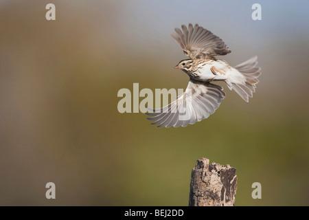Savannah Sparrow (Passerculus sandwichensis), adult in flight, Sinton, Corpus Christi, Coastal Bend, Texas, USA - Stock Photo