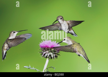 Black-chinned Hummingbird (Archilochus alexandri), females feeding on Texas thistle, Sinton, Corpus Christi, Coastal - Stock Photo