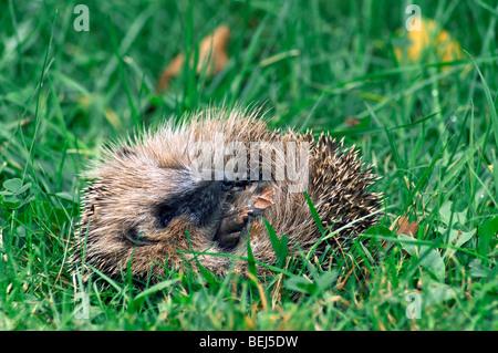 Portrait of European hedgehog curled up (Erinaceus europaeus) in grass at garden - Stock Photo