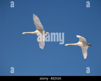 Swans flying in a clear blue sky - Stock Photo