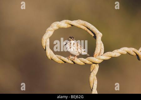 Savannah Sparrow (Passerculus sandwichensis), adult, Sinton, Corpus Christi, Coastal Bend, Texas, USA - Stock Photo