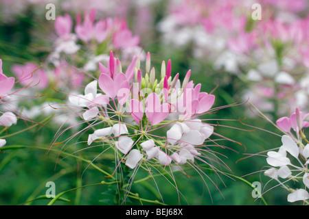 Spider flower - Stock Photo