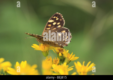 Speckled Wood butterfly, England, UK - Stock Photo