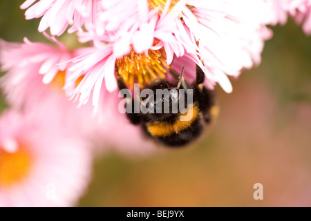 Close up of a bee's world. Buff tailed Bumble bee working hard on a pink chrysanthemum flower collecting pollen - Stock Photo