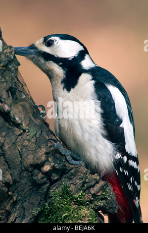 Great Spotted Woodpecker / Greater Spotted Woodpecker (Dendrocopos major) foraging on tree trunk in forest - Stock Photo