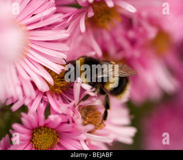Buff tailed Bumble Bee busy collecting pollen from pink Chrysanthemum flowers - Stock Photo