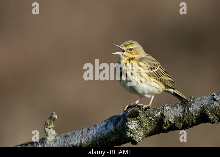 Singing tree pipit (Anthus trivialis) perching on branch, the Netherlands - Stock Photo