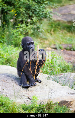 Young Western Lowland Gorilla (Gorilla gorilla gorilla) - Stock Photo