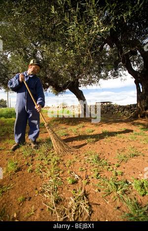 Olive harvesting, Ostuni, Puglia, Italy - Stock Photo