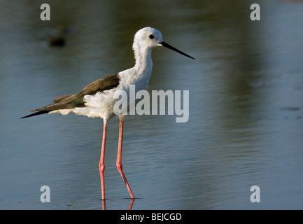 Black-winged Stilt / Common Stilt / Pied Stilt (Himantopus himantopus) wading in shallow water - Stock Photo