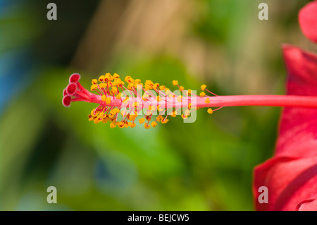 The Pistil and Stamens Of A Red Hibiscus Flower - Stock Photo