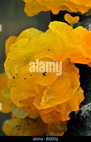 Yellow brain fungus / golden jelly fungus / yellow trembler / witches' butter (Tremella mesenterica / Helvella mesenterica) - Stock Photo
