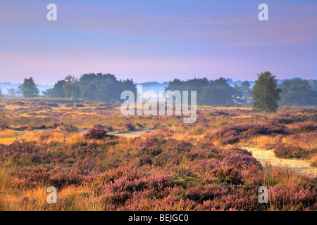 Ling heather (Calluna vulgaris) in bloom, Kalmthoutse heide, Belgium - Stock Photo