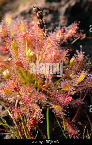 Oblong-leaved sundew / Spoonleaf sundew (Drosera intermedia), Belgium - Stock Photo
