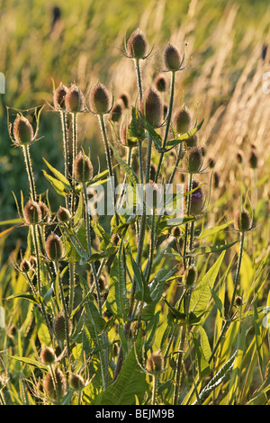 Common teasel (Dipsacus fullonum), Belgium - Stock Photo