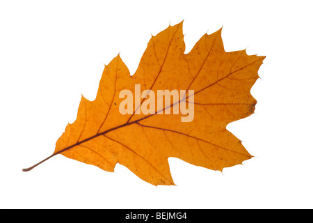 Northern red oak / Champion oak (Quercus rubra) leaf in autumn colours, native to North America on white background - Stock Photo