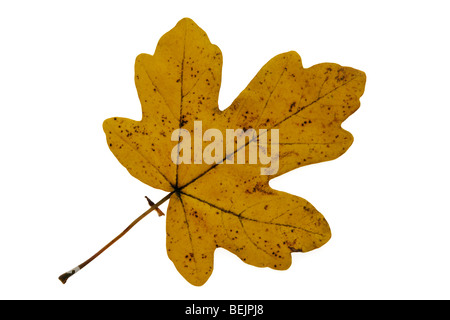 Field maple (Acer campestre) leaf in autumn colours, Europe - Stock Photo