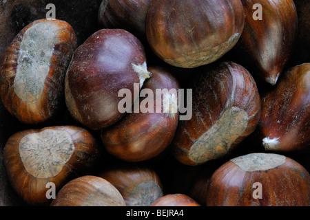 Sweet chestnut nuts / marron (Castanea sativa) harvested in autumn - Stock Photo