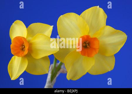 Narcissus 'Martinette' (Daffodil) Div.8 Tazetta - Stock Photo