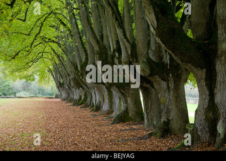 Row of small leaved lime trees (Tilia cordata) in garden of the Cistercian abbey of Noirlac, France - Stock Photo