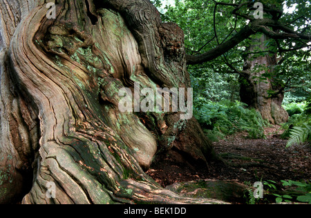 Old oak in woodland of Sherwood Forest, Nottinghamshire, UK - Stock Photo