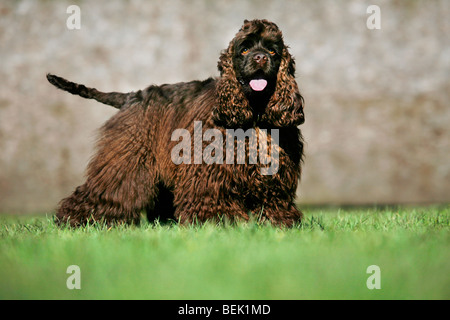American cocker spaniel (Canis lupus familiaris) standing outdoors on lawn in garden - Stock Photo