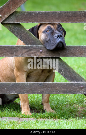 Curious Boerboel guarding dog, mastiff dog breed from South Africa looking through gap in wooden fence - Stock Photo
