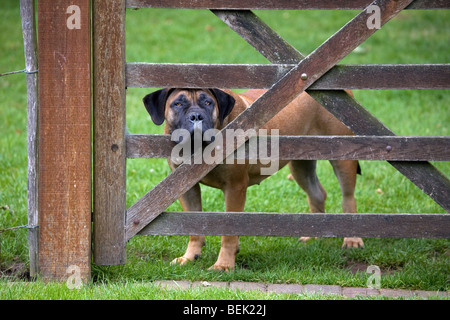 Curious Boerboel, South African guard dog looking through fence in field - Stock Photo
