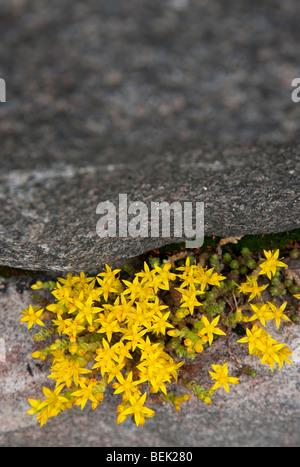 Sedum Acre blooming in a crack between rocks - Stock Photo