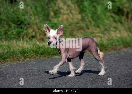 Chinese crested dog, hairless breed from China - Stock Photo
